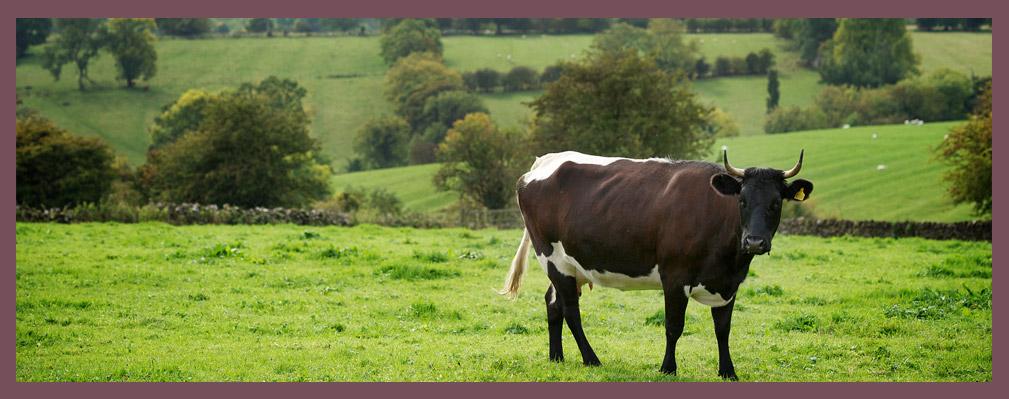 Church Farm Cattle