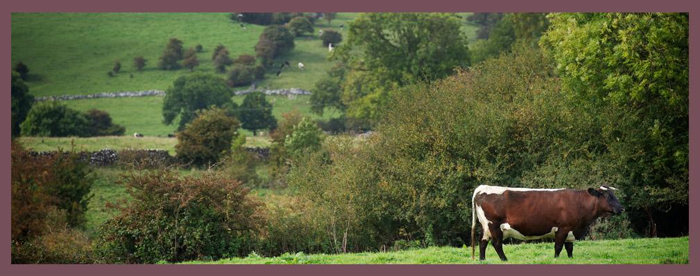 Working Farm Cattle